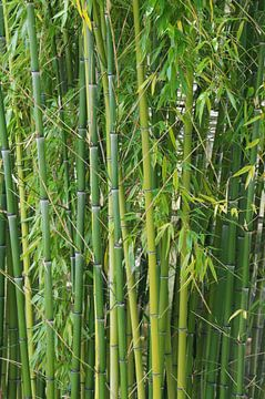 Bambus van