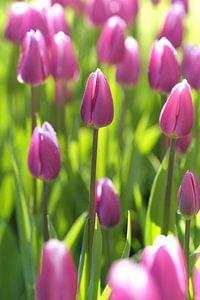 Tulpen in mooi  fris ochtendlicht. van Karel Ham