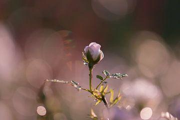 ontluikend roosje van