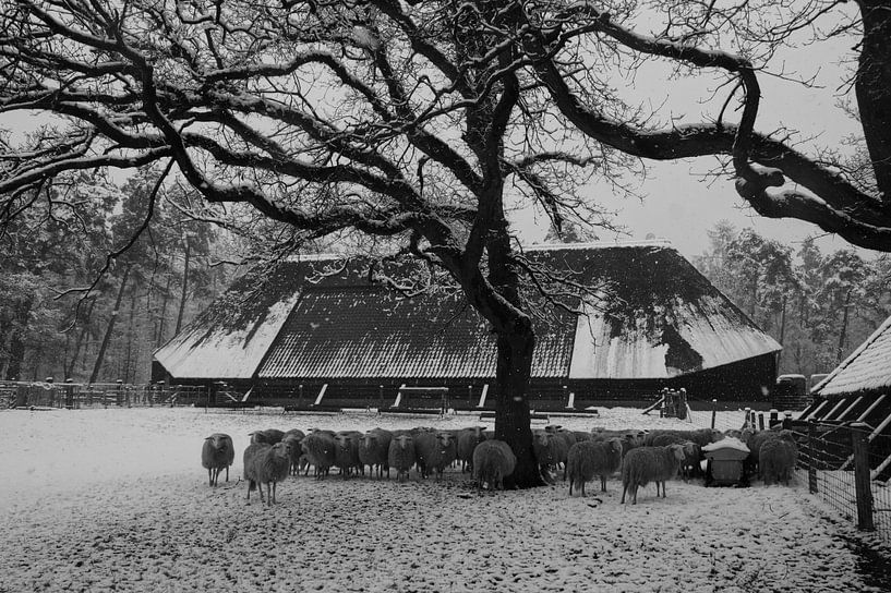 Sheep in winter landscape von Anouk Noordhuizen