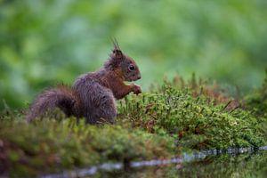 Lief eekhoorntje aan het water.