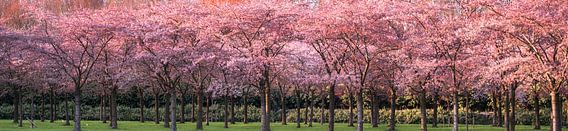 Avondzon op de kersenboomgaard