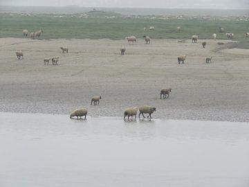 Somme France - Schaap - sheep von Ineke Duijzer
