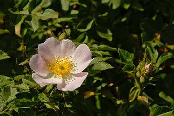 Rosa multiflora van Kristof Lauwers