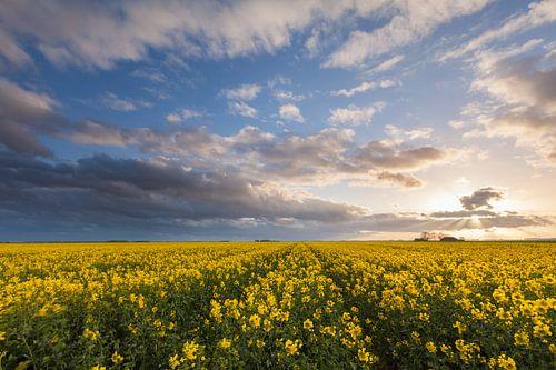 A field of rapeseed in Oostwold