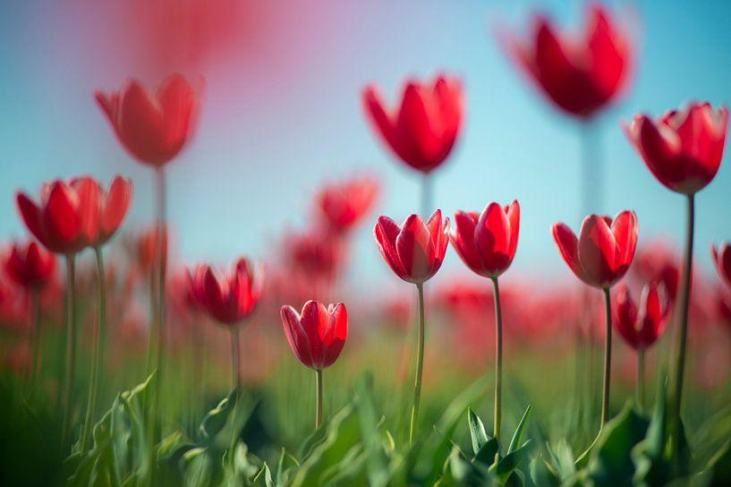 Tulpen in Nederland van Cindy Stegeman