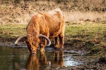 Schotse hooglander drinkt uit een vennetje van MICHEL WETTSTEIN