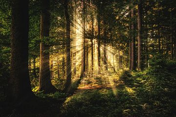 De zon door het bos van Bert Hooijer