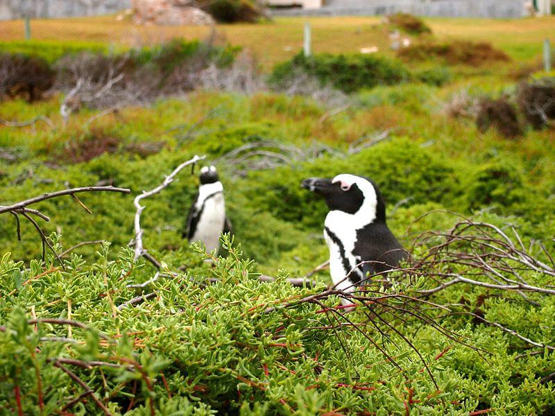 Pinguine in Südafrika sur Patrick Hundt
