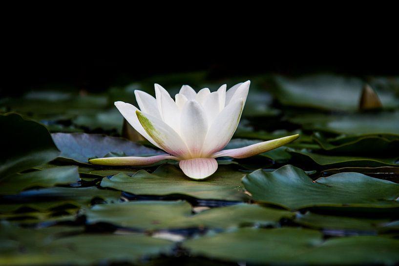 the water lily van Koen Ceusters