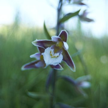 Wilde Orchidee von Erik Reijnders