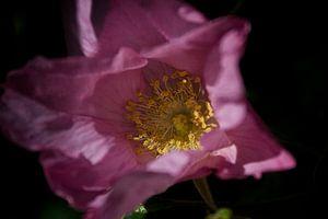 roze roos van foto-fantasie foto-fantasie