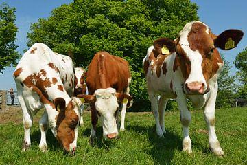 Koeien in de wei von Georges Hoeberechts