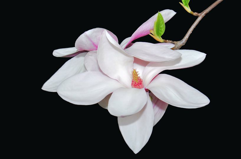 White Magnolia van Ioana Hraball