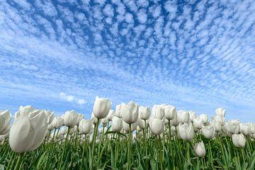 Witte Tulpen von Sjoerd van der Wal