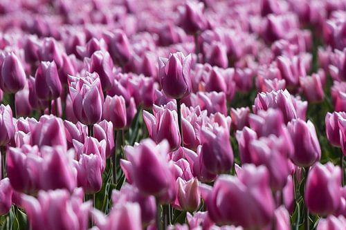 Bloeiende tulpen van Bert van Wijk