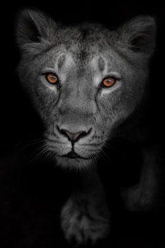 ein Blick der aufmerksamen leuchtenden Augen eines Raubtieres auf ein gebleichtes schwarz-weißes Ges von Michael Semenov