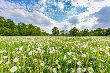 überblasen oder verblühende Löwenzahn im grünen Wiese mit blauem Himmel und Wolken im Sommer von Ben Schonewille