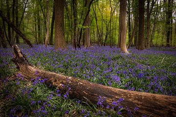 Le paradis des Bluebells sur Wim van D
