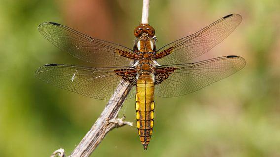 Een vrouwtjes platbuik libelle van Arjan van de Logt