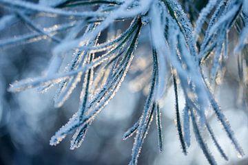 denneboom bedekt met sneeuw van Karijn | Fine art Natuur en Reis Fotografie