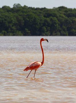 Wilder Flamingo Celestún, Mexiko von Wilco Speksnijder
