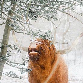 Schotse hooglander wil niet gestoord worden tijdens het eten van Jan Willem De Vos