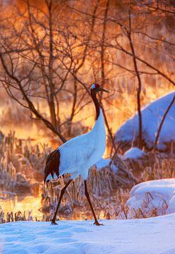 Bedreigde Chinese Kraanvogel (Grus japonensis) op Hokkaido in Japan in de winter. van Beschermingswerk voor aan uw muur