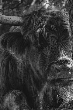 Porträt Schottischer Highlander von Jeffrey Hensen