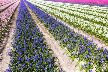 Hyacinten van eric van der eijk