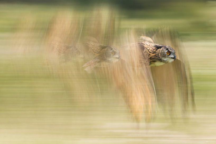 Oehoe in vlucht van Jeroen Stel