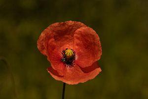 Poppy van Lynlabiephotography