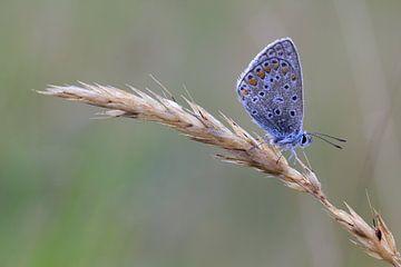 Icarusblauwtje. sur Patrick Brouwers