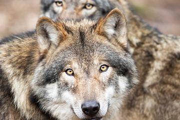 Wölfe von peter reinders