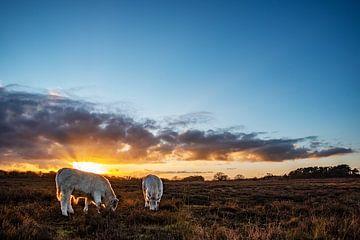 Kühe auf der Heide in Huizen von Larisa Landré