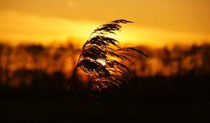 Rietpluim met oranje zonsondergang in Nederland