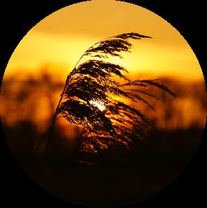 Rietpluim met oranje zonsondergang in Nederland van Discover Dutch Nature