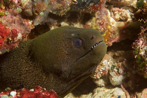 Mureen (moray eel) toont tanden van