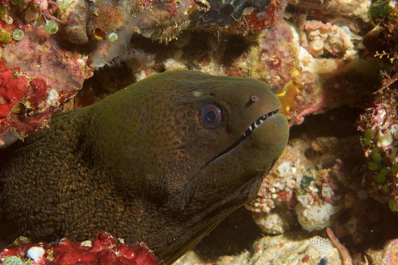 Mureen (moray eel) toont tanden van M&M Roding
