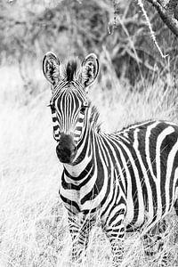 Oegandese Zebra