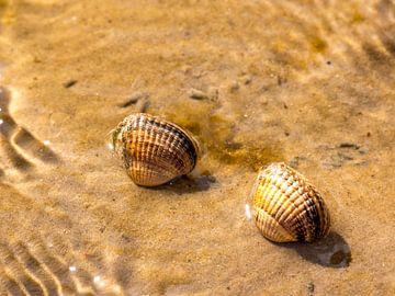 Shells in the Wadden Sea van