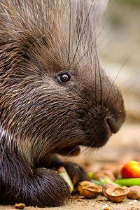 Frühstück bei den Stachelschweinen von Tierfotografie.Harz
