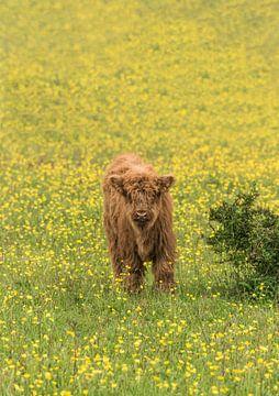 Schotse Hooglander kalf tussen gele bloemen van Ans Bastiaanssen
