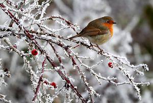 roodborstje  winter