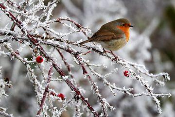 roodborstje  winter van Niels  de Vries