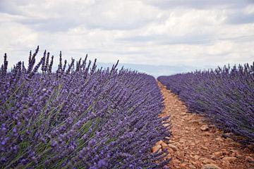 Lavendel velden van Kramers Photo
