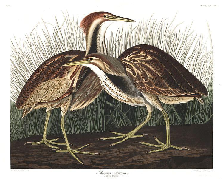 Noord-Amerikaanse Roerdomp van Birds of America