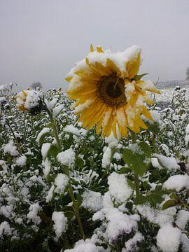 Sonnenblume im Schnee von Andrea Meister