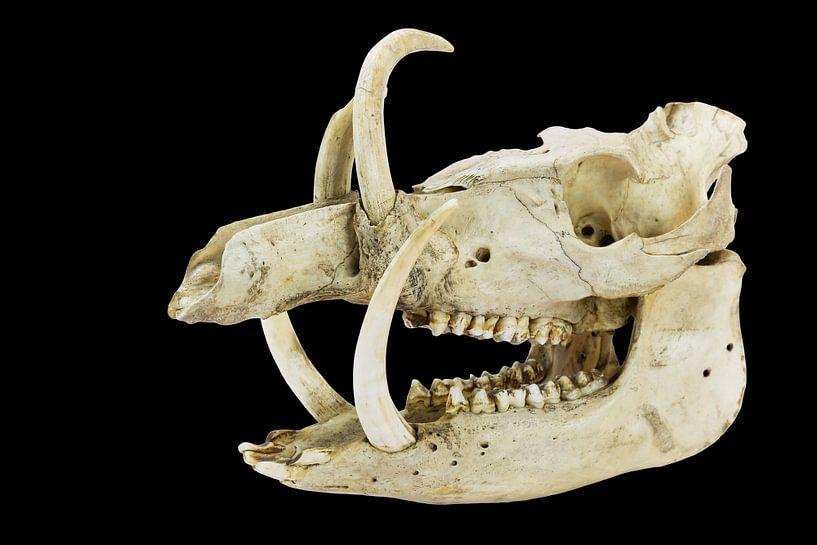 Schedel met lange slagtanden en tanden van wild zwijn op zwart van Ben Schonewille