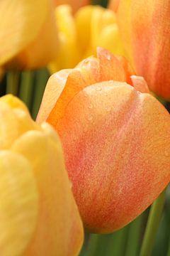 Tulp met dauwdruppels van Hanneke van den Berg